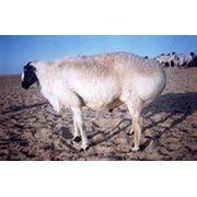 Овцы эдильбаевской породы фото
