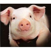 Свиньи сальных пород фото