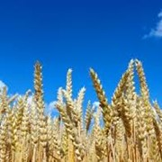 Пшеница яровая фото