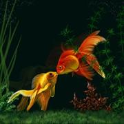 Золотые рыбки мд, золотые рыбки в Молдове фото