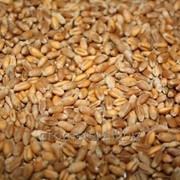 Пшеница 4 класс фото