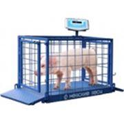 Весы платформенные для взвешивания животных серии ВСП4-60АЖСО