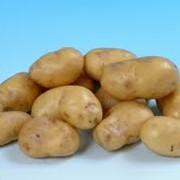 Картофель: Ривьера, Эроу, Беллароза, Романо, Роко, Санте. фото