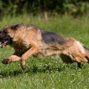 Дрессировка собак. Кинолог. фото
