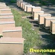 Пчелопакеты Карника фото