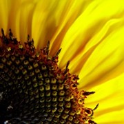 Семена подсолнечника Перформер (гибрид) Румынской селекции фото