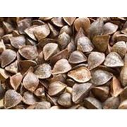 Семена гречихи фото