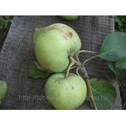 Стелющая яблоня фото
