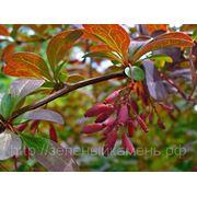 Барбарис обыкновенный (Berberis vulgaris).Высота 0.5-0.7м.