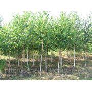 Береза бородавчатая(Betula pendula).Высота 1.5-2м,2-2.5м,2.5-3м. фото