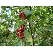 Черемуха виргинская (Prunus virginiana).Высота 1.5-2м,2-2.5м. фото