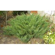 Можжевельник казацкий (Juniperus sabina).Высота 20-30см,0.5-0.8м. фото
