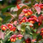 Бересклет европейский Ред Каскад (V1.5-2л.)(высота до 4м, плоды красные, обильные)