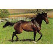 Лошади европейских полукровных верховых пород фото