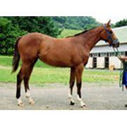 Разведение лошадей чистокровной верховой породы фото