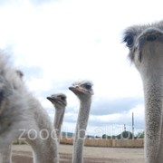 Перо страуса фото