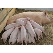 Выращивание свиней фото