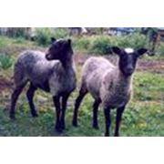 Разведение овец и коз фото