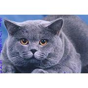 Вязка с красивым голубым британским котом с отличной родословной разведение домашних животных разведение кошек вязка котов заказы на услуги со всей России фото