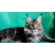 Вязка с котом мейн-кун фото