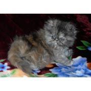 Дымчатая черепаховая персидская кошечка фото
