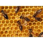 Разведение пчел фото