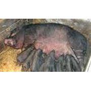 Разведение вьетнамских вислобрюхих свиней Свиньи вьетнамские вислобрюхие фото