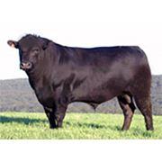 Выращивание крупного рогатого скота фото
