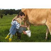 Доение коров фото