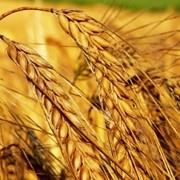 Пшеница твердая, купить, Украина фото