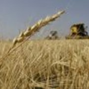 Зерно, зерновые зерно фуражное продам в одесской области фото