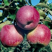 Яблоки сорт Флорина фото