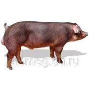 Свиньи живым весом - Поиск