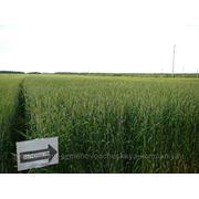 Семена озимой пшеницы. Безенчукская 380 фото
