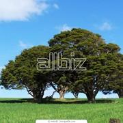Омоложение деревьев фото
