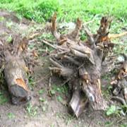 Корчевание корней фото
