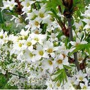 Чекалкин орех (Xanthoceras sorbifolia)мини-тепличка 2 шт фото