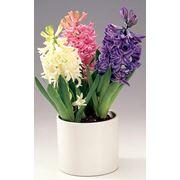 Растение гиацинт фото