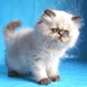 Кошки колор-пойнт фото