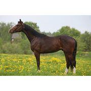 Лошадь Латвийская теплокровная фото