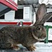 Кролик Бельгийский Фландр фото