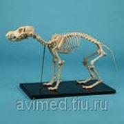 Модель скелета собаки фото