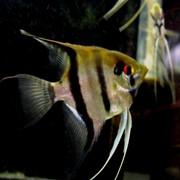 Рыбка скалярия полосатая фото