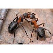 Уничтожение муравьев фото