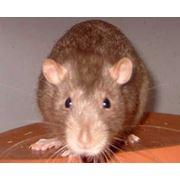 Уничтожение мышей и крыс фото