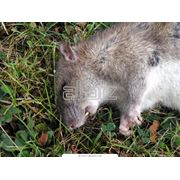 Уничтожение крыс мышей и других грызунов фото
