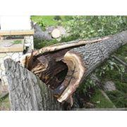Удаление аварийных деревьев фото
