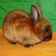 Карликовый кролик сатиновый фото