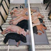 Свинокомплексы под ключ фото
