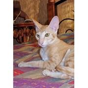 Кошка сиамская и ориентальная фото